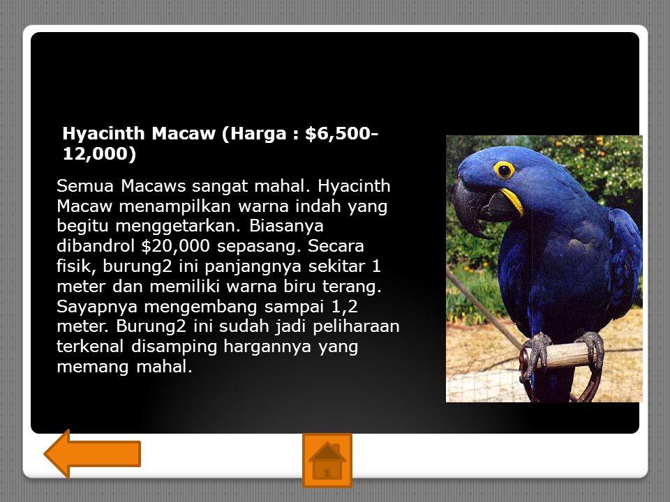 Hyacinth Macaw (Harga : $6,500-12,000)