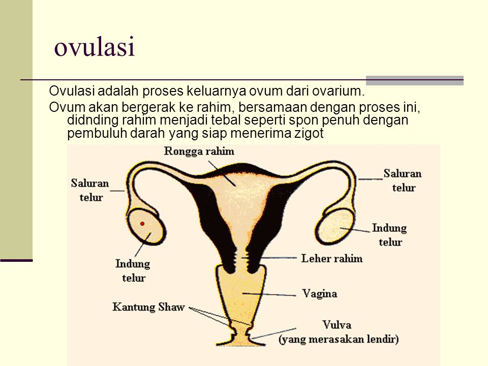 ovulasi Ovulasi adalah proses keluarnya ovum dari ovarium.