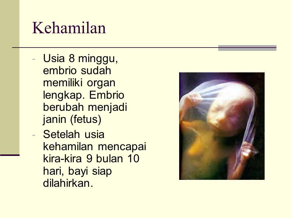 Kehamilan Usia 8 minggu, embrio sudah memiliki organ lengkap. Embrio berubah menjadi janin (fetus)