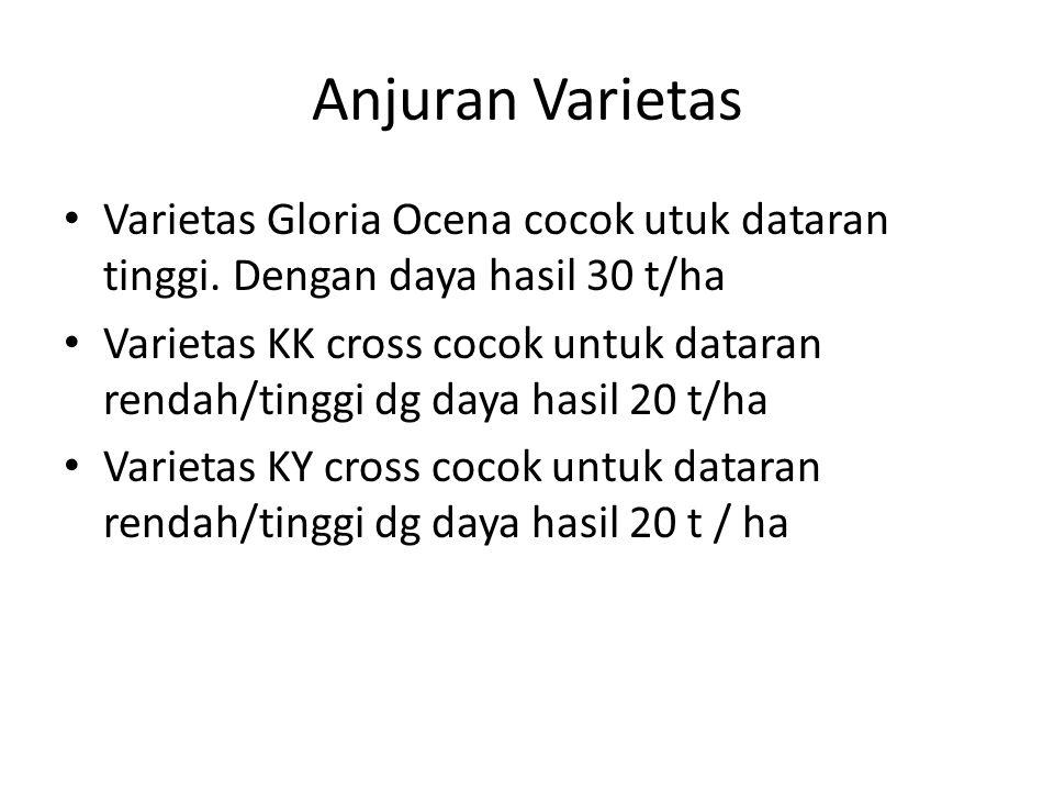 Anjuran Varietas Varietas Gloria Ocena cocok utuk dataran tinggi. Dengan daya hasil 30 t/ha.