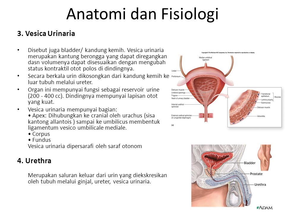 Anatomi dan Fisiologi 3. Vesica Urinaria 4. Urethra