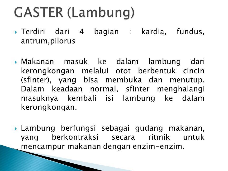 GASTER (Lambung) Terdiri dari 4 bagian : kardia, fundus, antrum,pilorus.