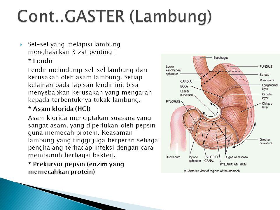 Cont..GASTER (Lambung) Sel-sel yang melapisi lambung menghasilkan 3 zat penting : * Lendir.
