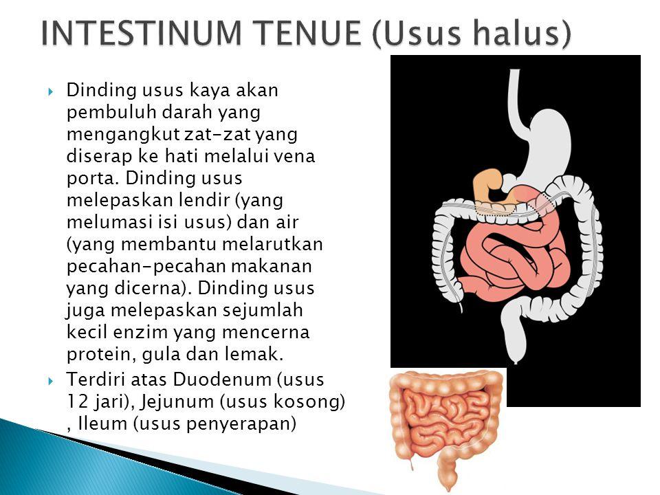 INTESTINUM TENUE (Usus halus)