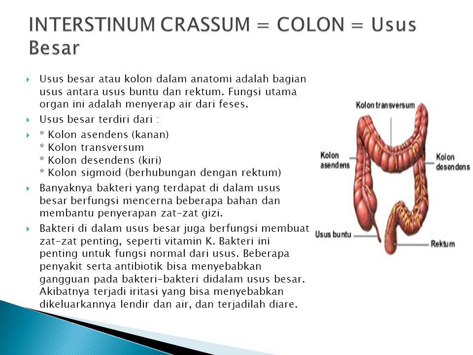 INTERSTINUM CRASSUM = COLON = Usus Besar