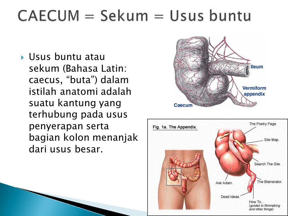 CAECUM = Sekum = Usus buntu