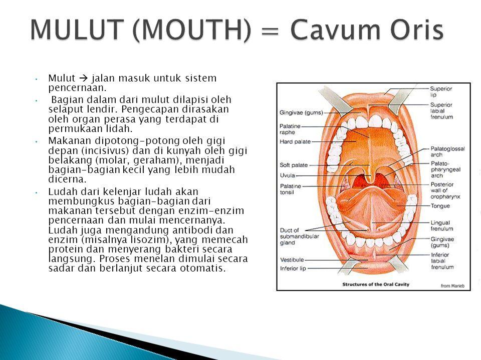 MULUT (MOUTH) = Cavum Oris