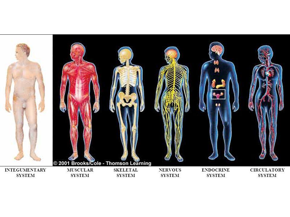 INTEGUMENTARY SYSTEM MUSCULAR SKELETAL NERVOUS ENDOCRINE CIRCULATORY