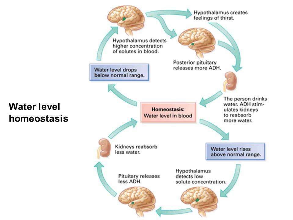 Water level homeostasis