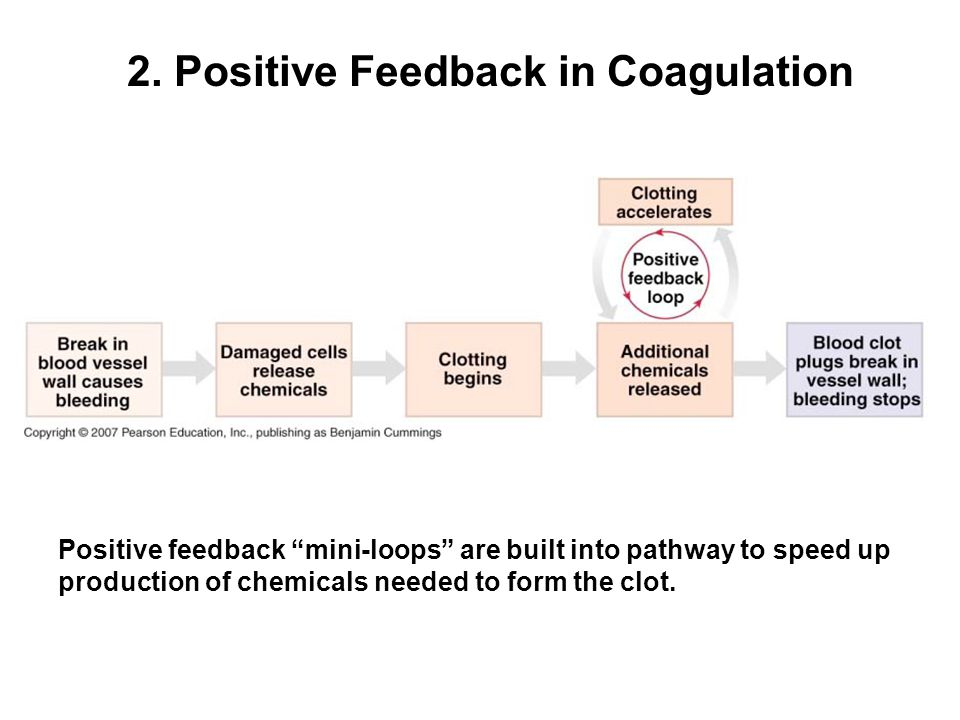 2. Positive Feedback in Coagulation