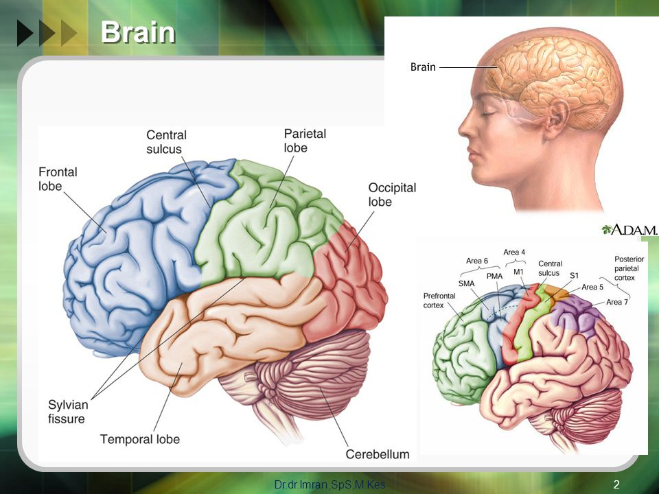 Brain Dr.dr.Imran,SpS,M.Kes