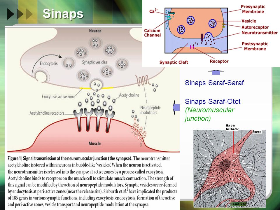 Sinaps Sinaps Saraf-Saraf Sinaps Saraf-Otot (Neuromuscular junction)