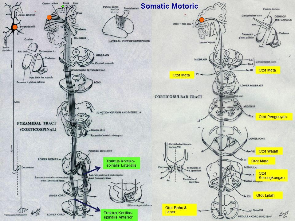 Somatic Motoric Otot Mata Otot Mata Otot Pengunyah Otot Wajah