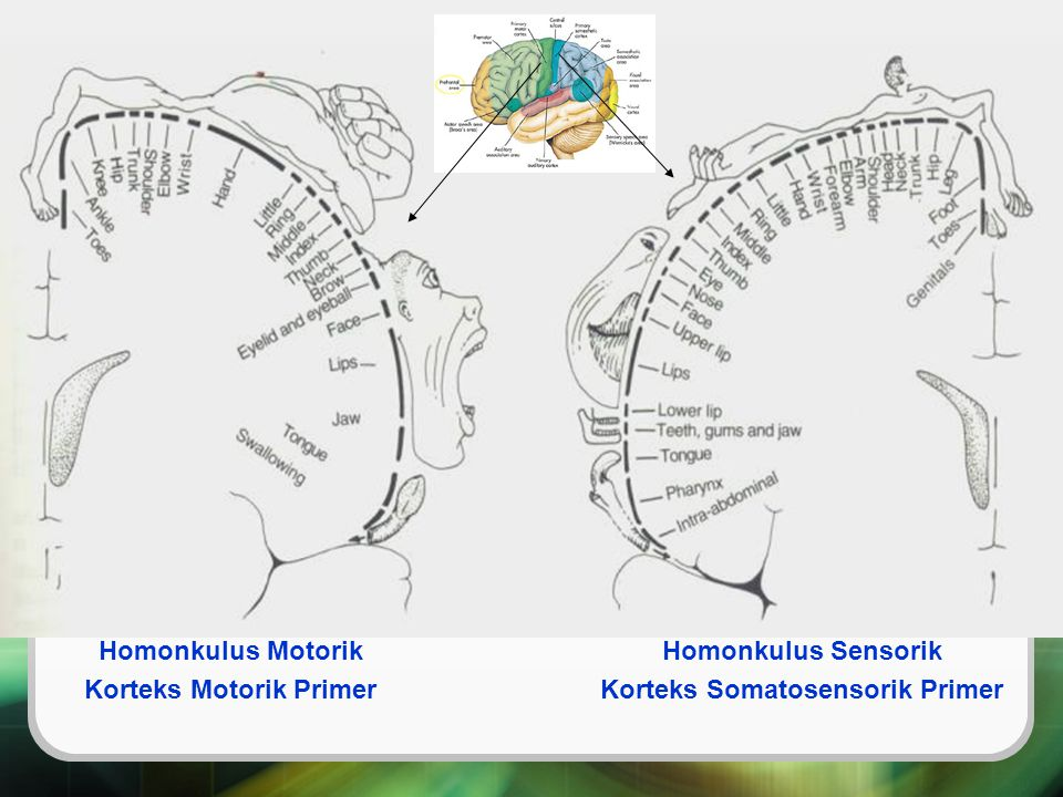 Korteks Motorik Primer Korteks Somatosensorik Primer