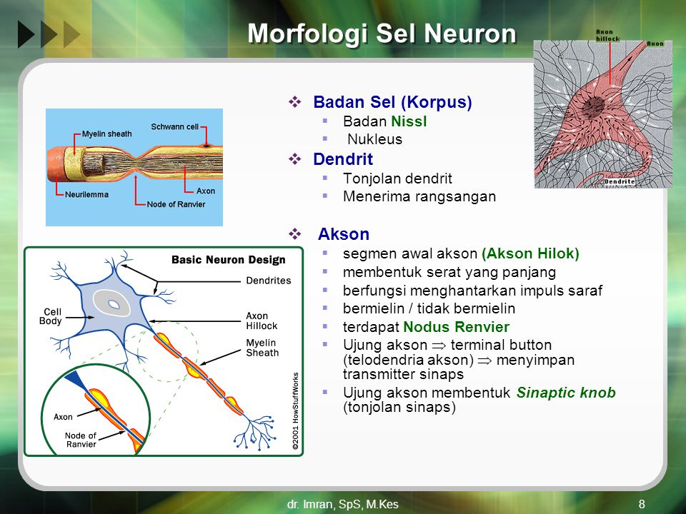Morfologi Sel Neuron Badan Sel (Korpus) Dendrit Akson Badan Nissl