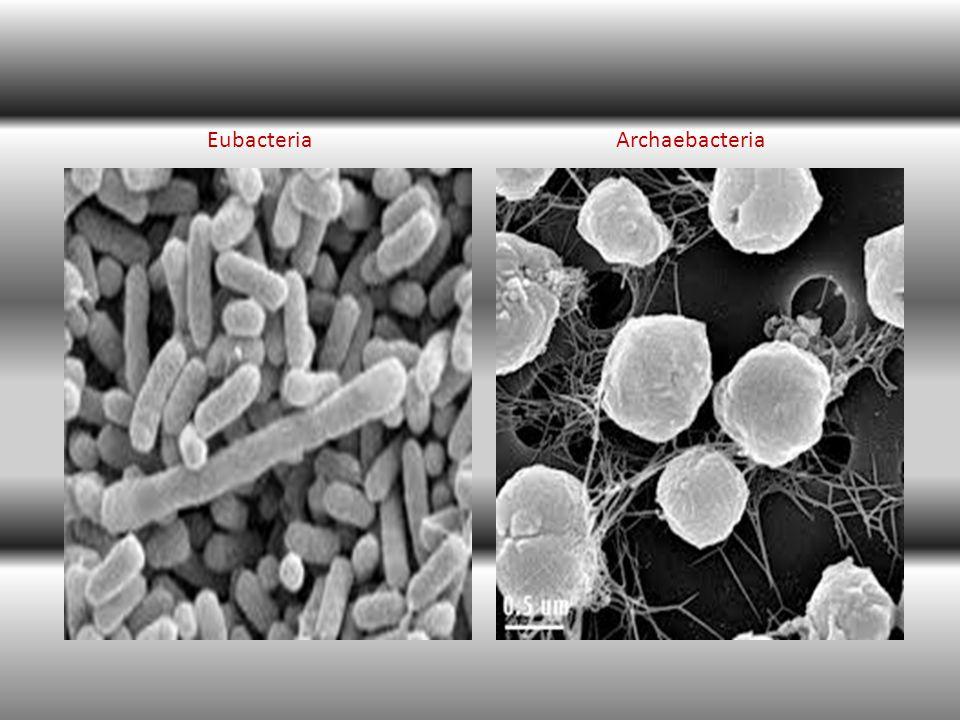 Eubacteria Archaebacteria