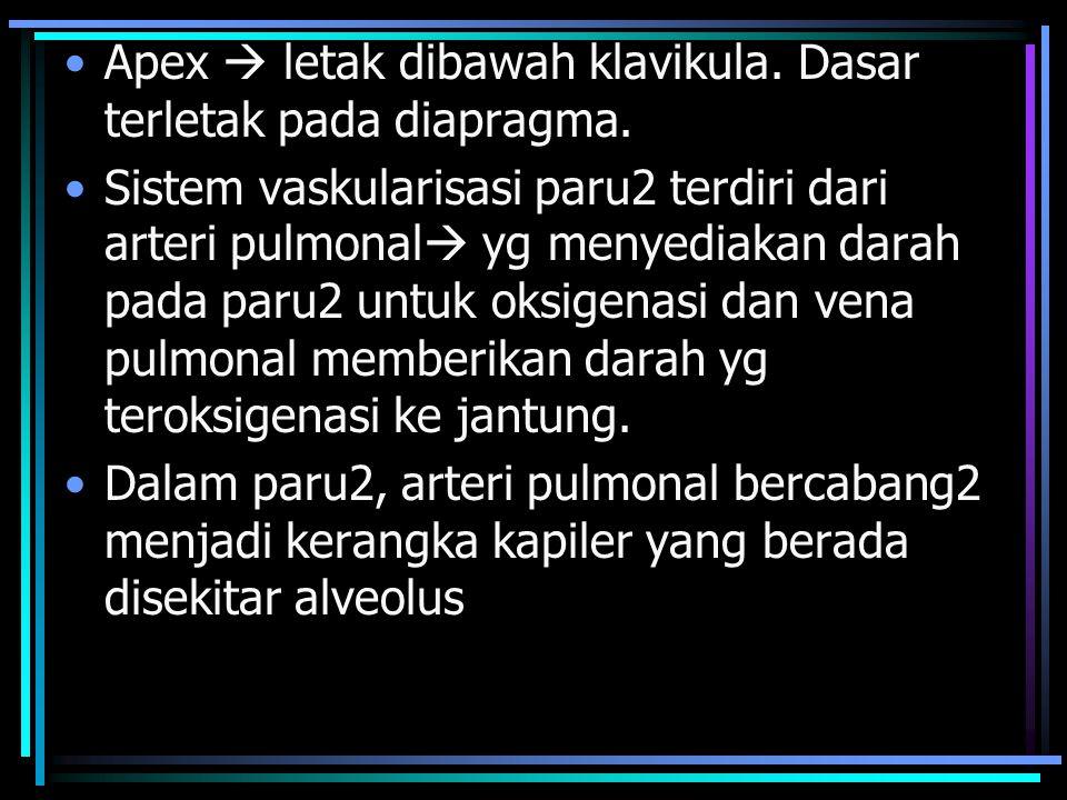 Apex  letak dibawah klavikula. Dasar terletak pada diapragma.