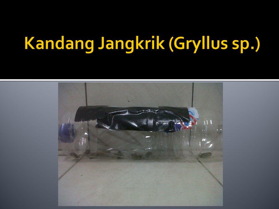 Kandang Jangkrik (Gryllus sp.)