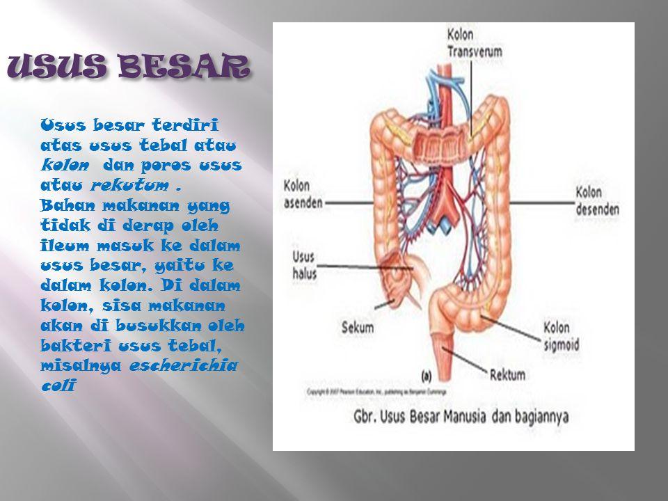 USUS BESAR