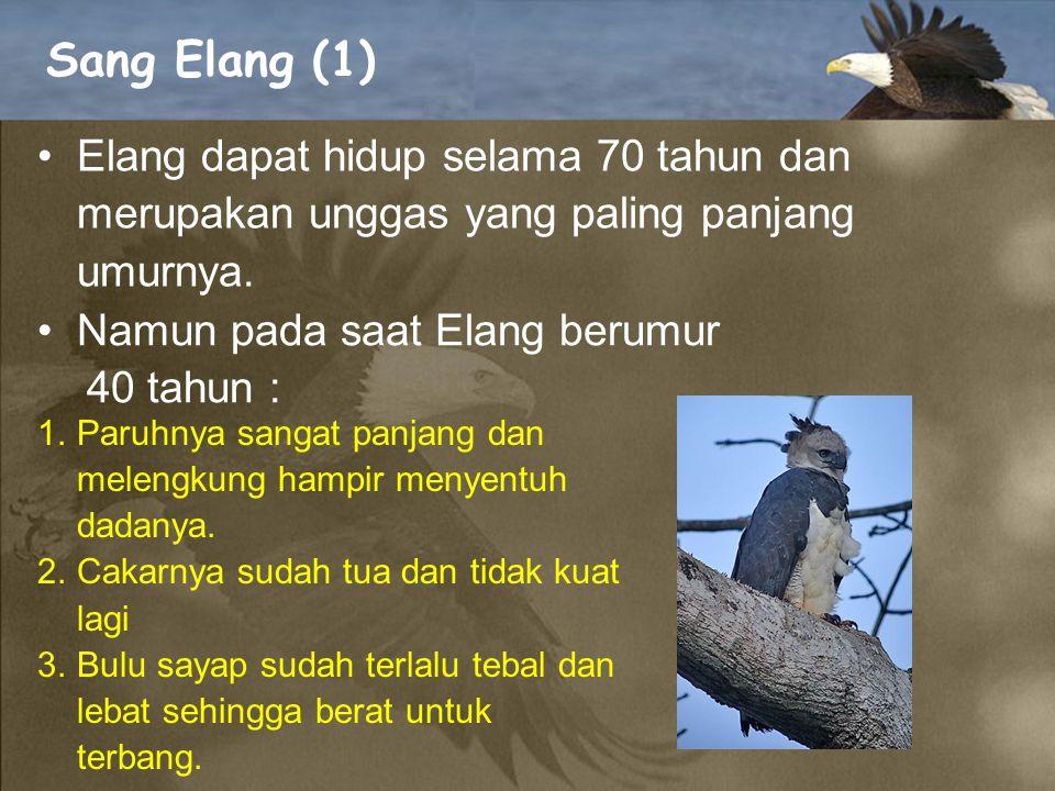 Sang Elang (1) Elang dapat hidup selama 70 tahun dan merupakan unggas yang paling panjang umurnya. Namun pada saat Elang berumur.