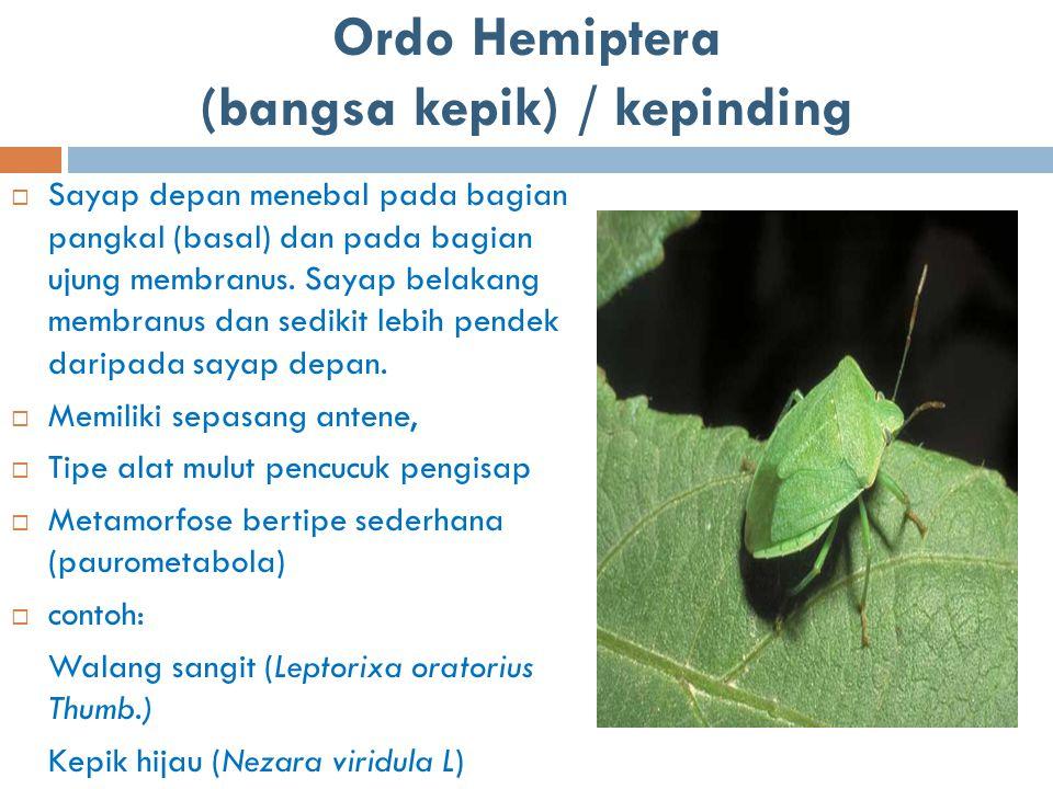 Ordo Hemiptera (bangsa kepik) / kepinding