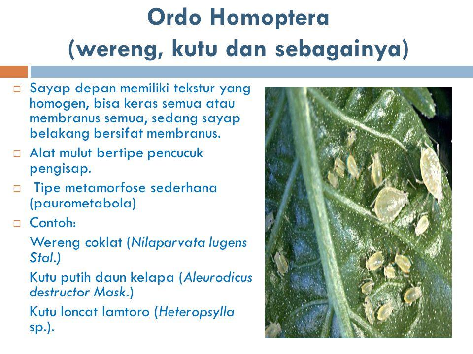 Ordo Homoptera (wereng, kutu dan sebagainya)