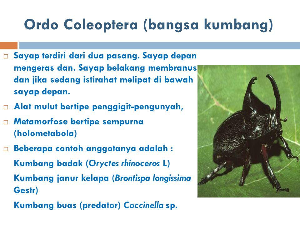 Ordo Coleoptera (bangsa kumbang)