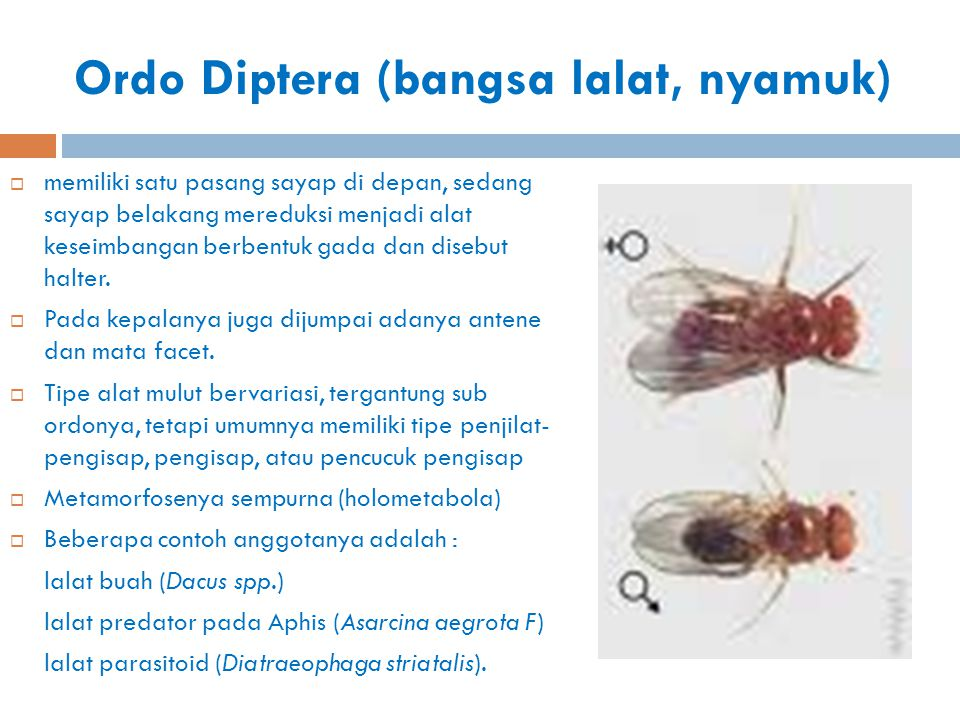 Ordo Diptera (bangsa lalat, nyamuk)
