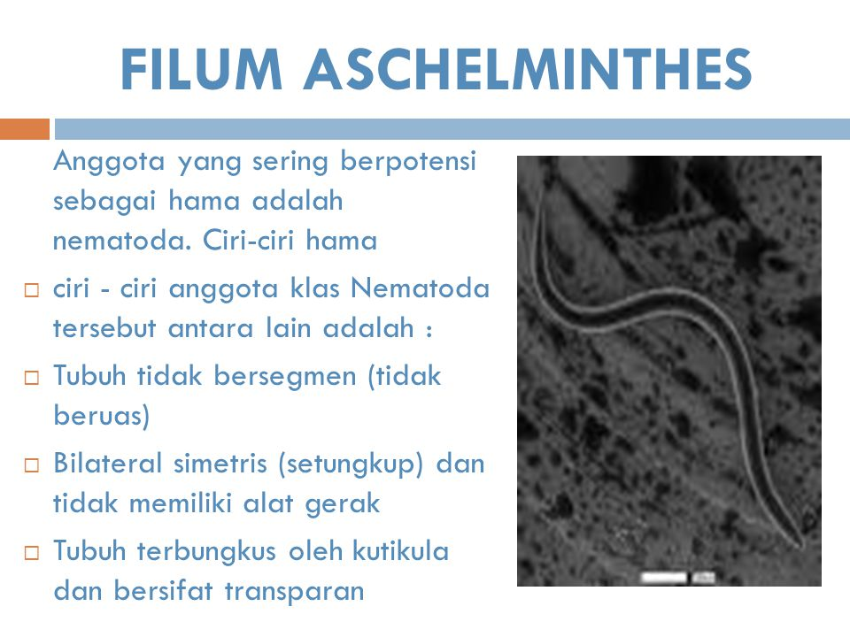 FILUM ASCHELMINTHES Anggota yang sering berpotensi sebagai hama adalah nematoda. Ciri-ciri hama.