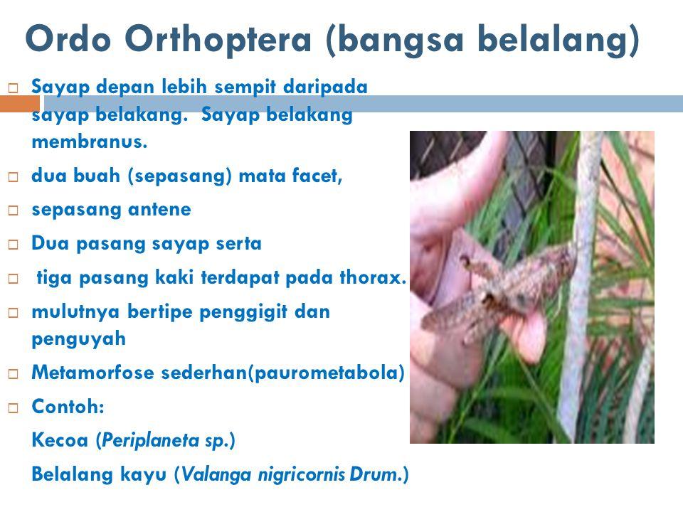Ordo Orthoptera (bangsa belalang)