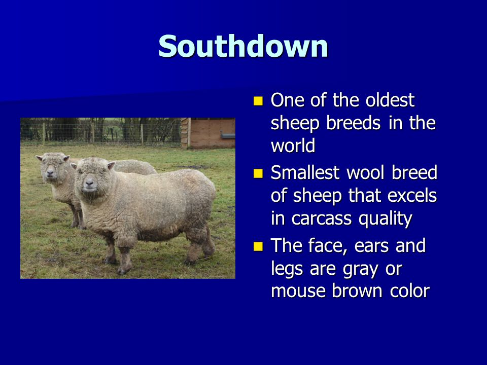 Southdown One of the oldest sheep breeds in the world
