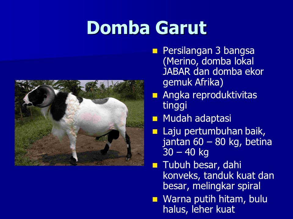 Domba Garut Persilangan 3 bangsa (Merino, domba lokal JABAR dan domba ekor gemuk Afrika) Angka reproduktivitas tinggi.
