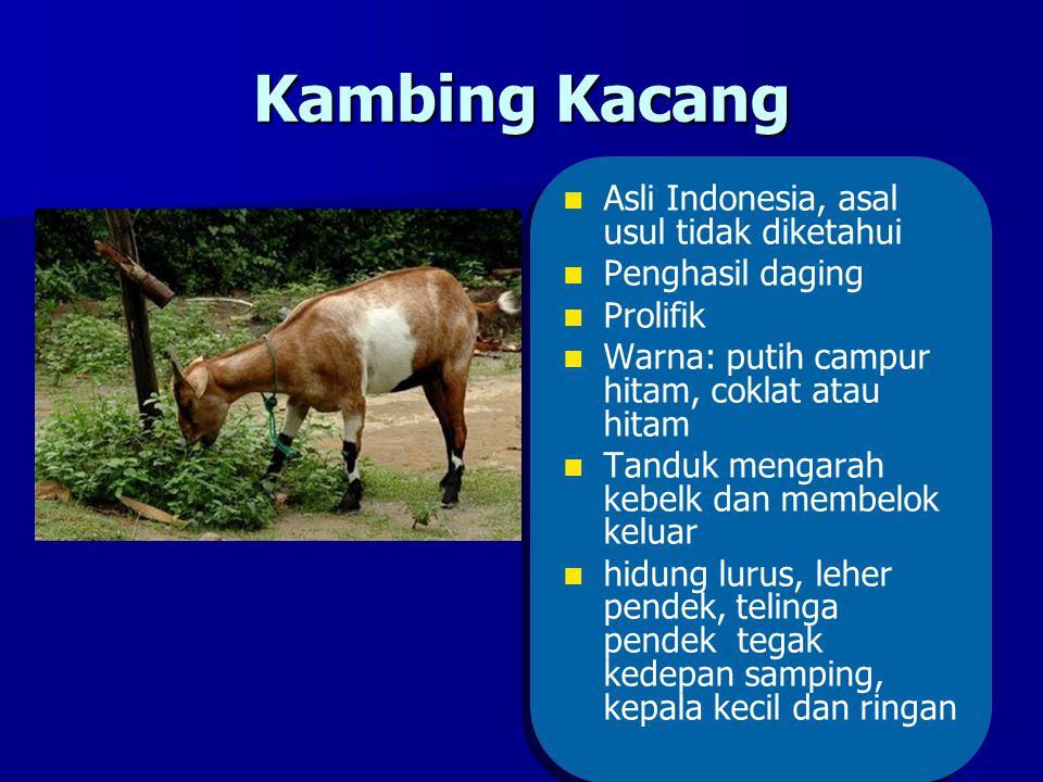 Kambing Kacang Asli Indonesia, asal usul tidak diketahui
