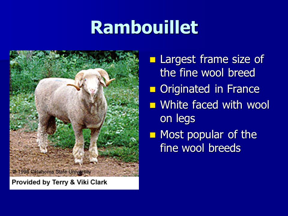 Rambouillet Largest frame size of the fine wool breed