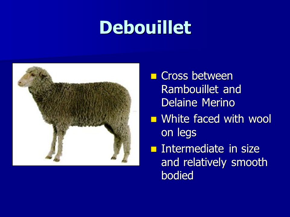 Debouillet Cross between Rambouillet and Delaine Merino