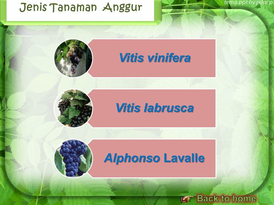 Vitis vinifera Vitis labrusca Alphonso Lavalle