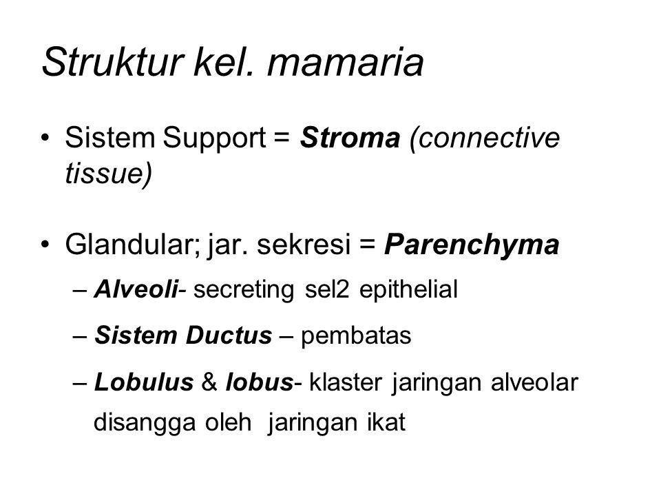 Struktur kel. mamaria Sistem Support = Stroma (connective tissue)
