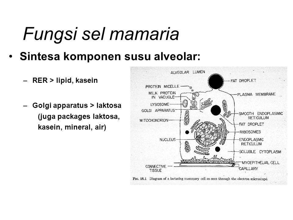 Fungsi sel mamaria Sintesa komponen susu alveolar: