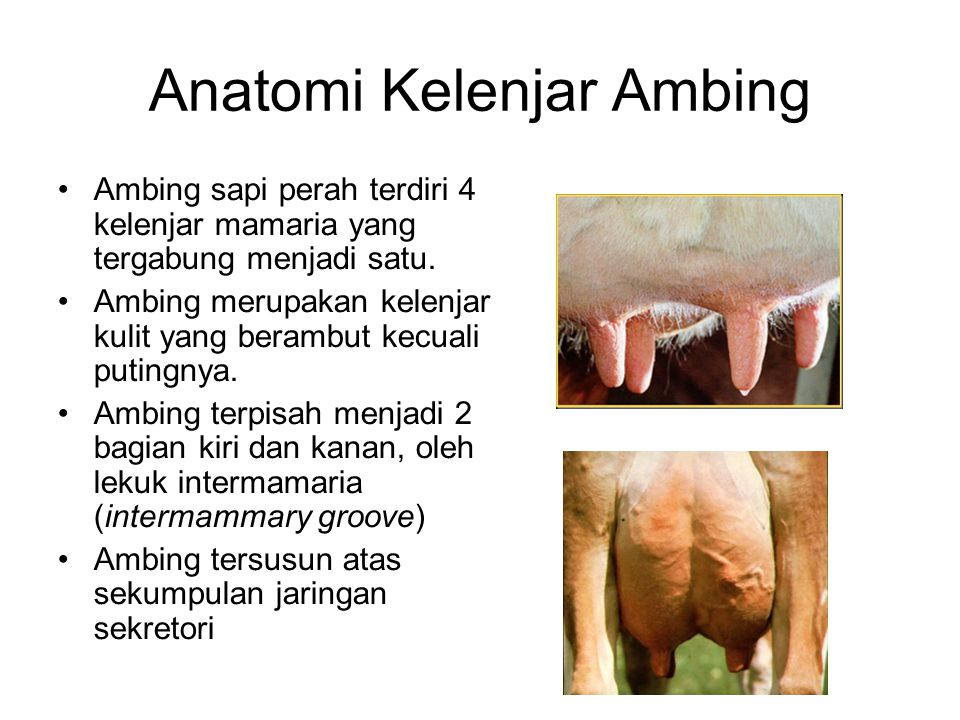 Anatomi Kelenjar Ambing