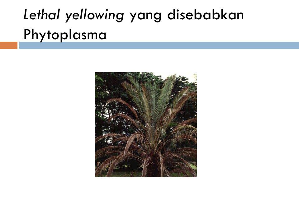 Lethal yellowing yang disebabkan Phytoplasma