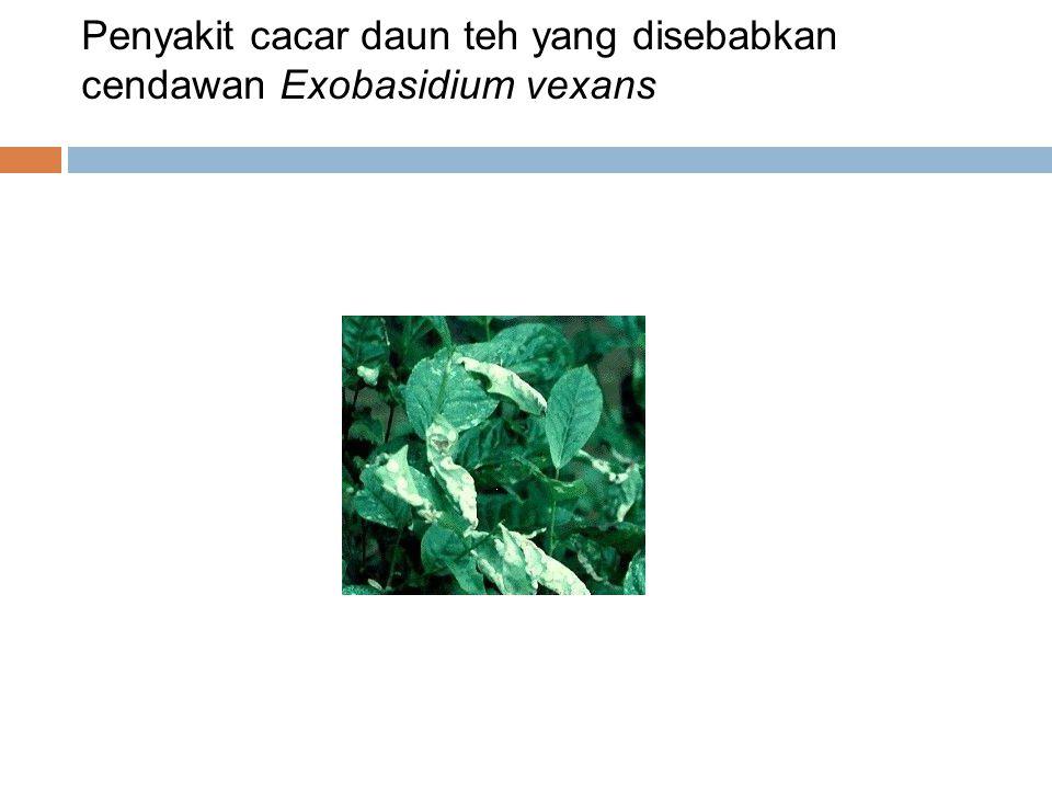Penyakit cacar daun teh yang disebabkan cendawan Exobasidium vexans