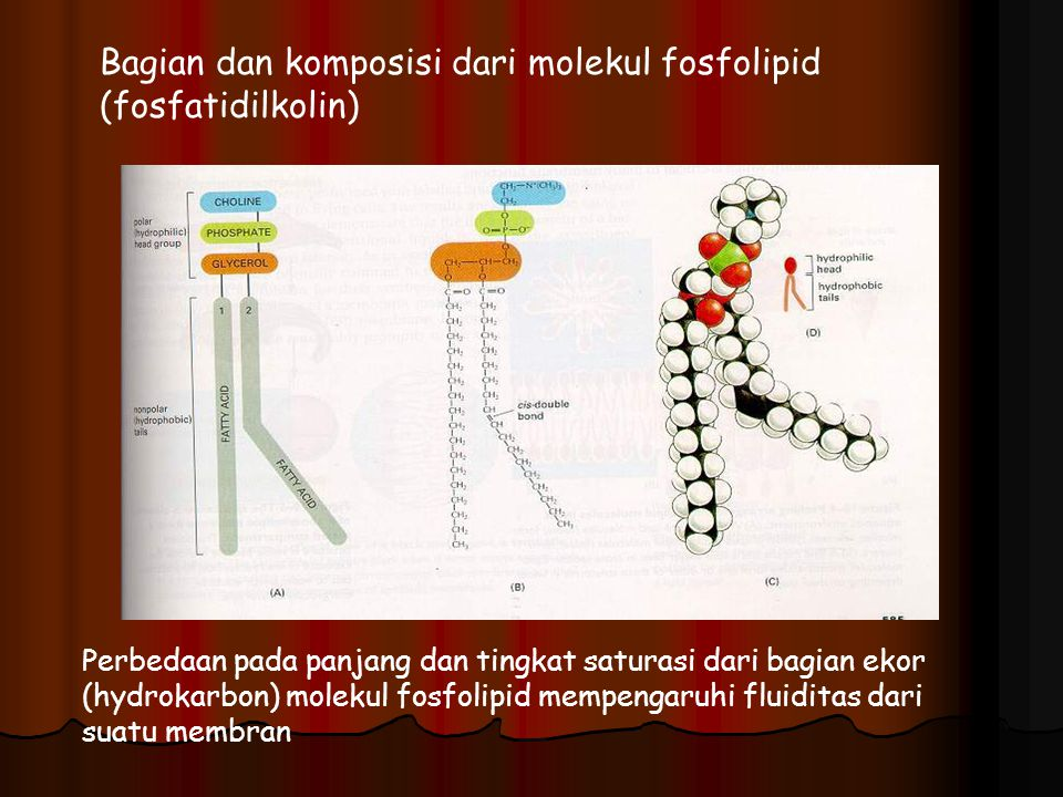 Bagian dan komposisi dari molekul fosfolipid (fosfatidilkolin)