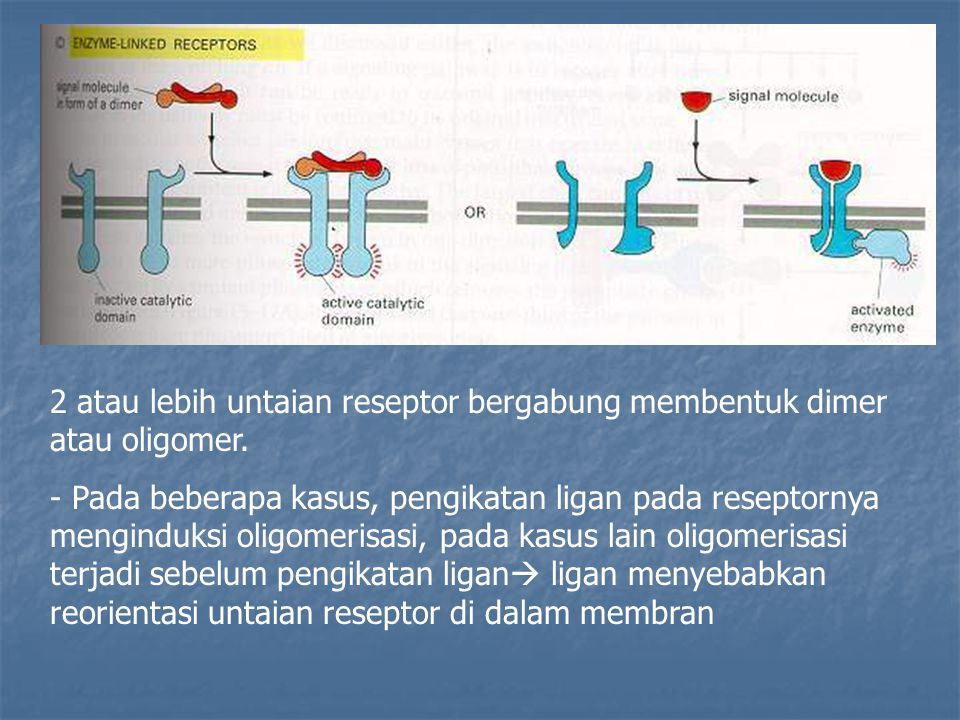 2 atau lebih untaian reseptor bergabung membentuk dimer atau oligomer.