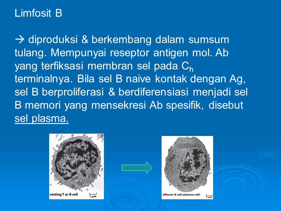 Limfosit B