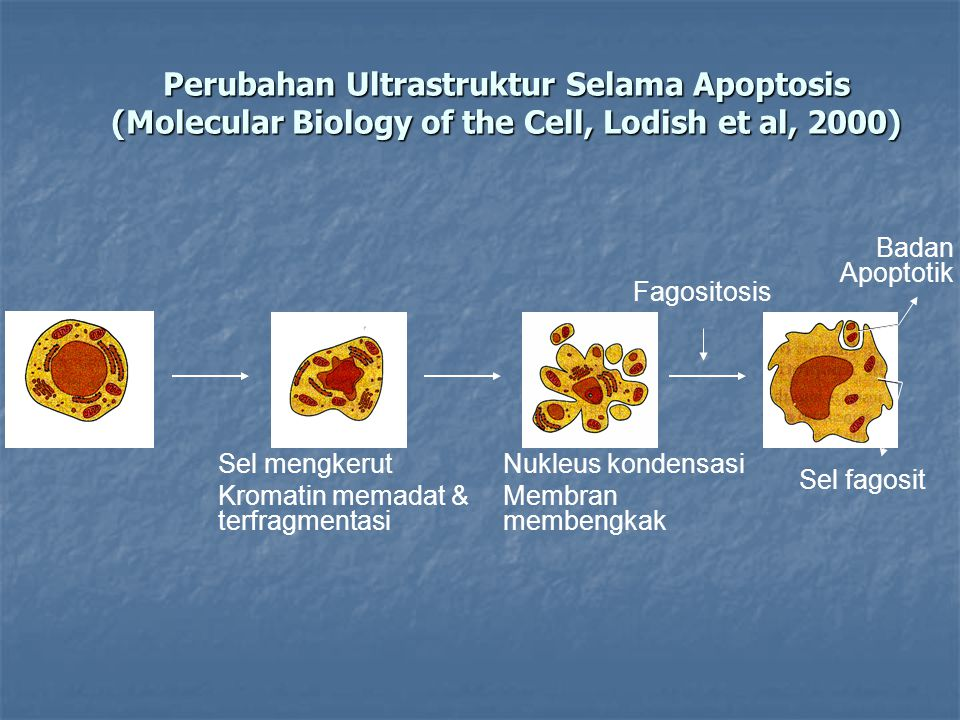 Perubahan Ultrastruktur Selama Apoptosis (Molecular Biology of the Cell, Lodish et al, 2000)