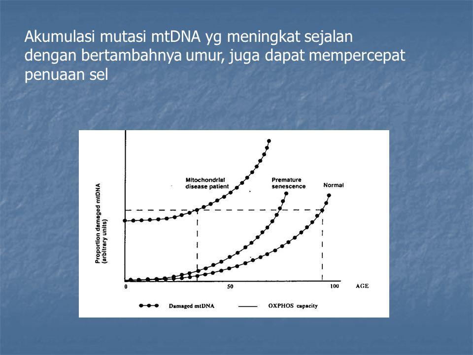 Akumulasi mutasi mtDNA yg meningkat sejalan dengan bertambahnya umur, juga dapat mempercepat penuaan sel