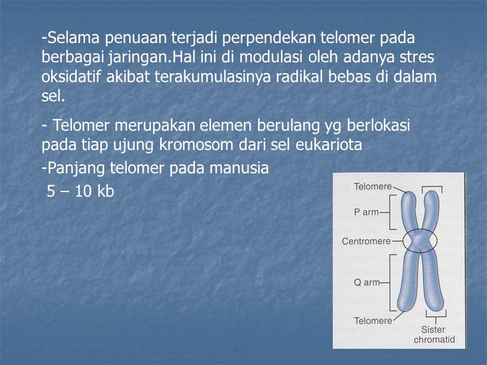 Selama penuaan terjadi perpendekan telomer pada berbagai jaringan