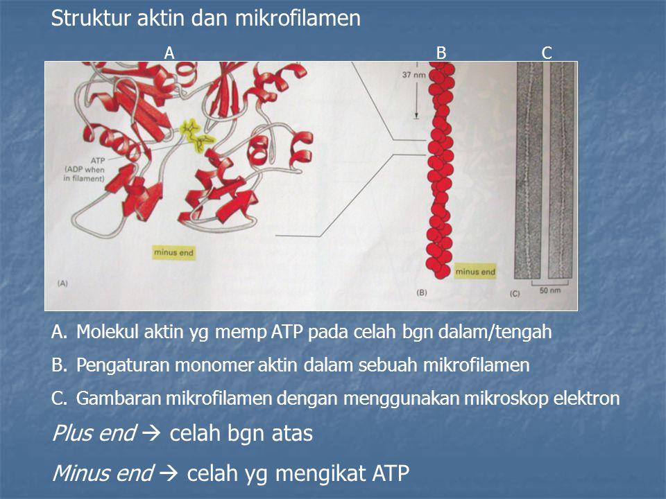 Struktur aktin dan mikrofilamen