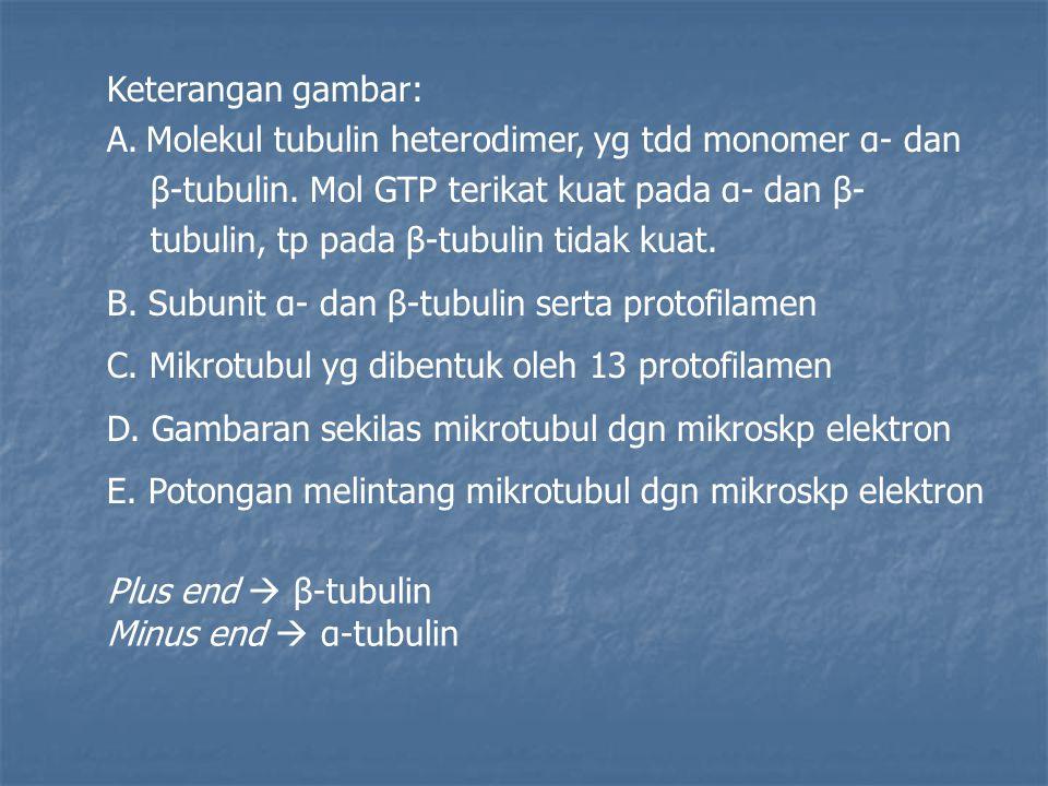 Keterangan gambar: Molekul tubulin heterodimer, yg tdd monomer α- dan. β-tubulin. Mol GTP terikat kuat pada α- dan β-