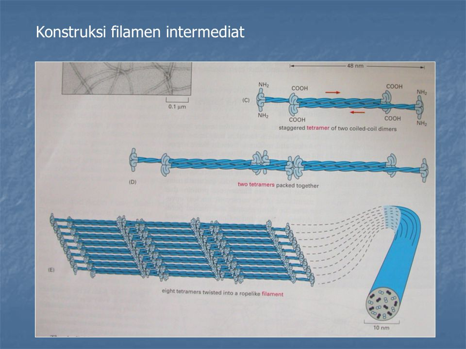 Konstruksi filamen intermediat